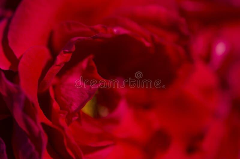 Blumenblätter von hellen roten Rosen mit gelbem Nektar unter den Strahlen der Sonne lizenzfreies stockfoto