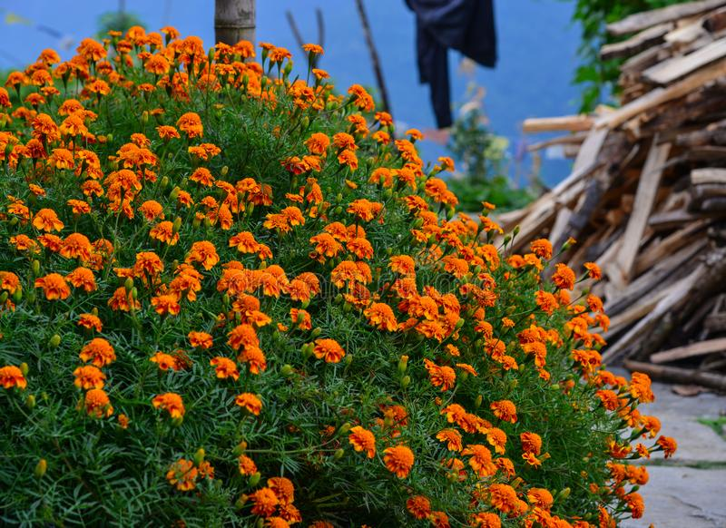 Blumenblühen der französischen Ringelblume lizenzfreies stockbild
