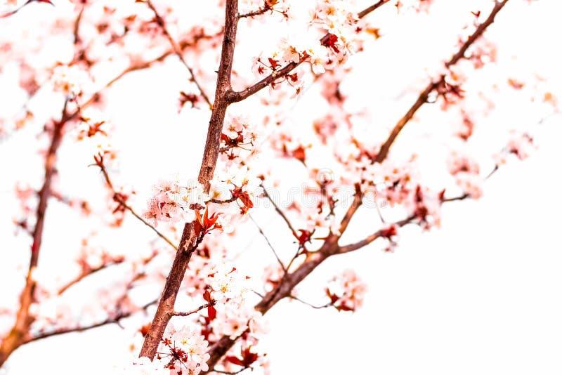 Blumenbl?te im Fr?hjahr, rosa Blumen als Naturhintergrund stockbilder