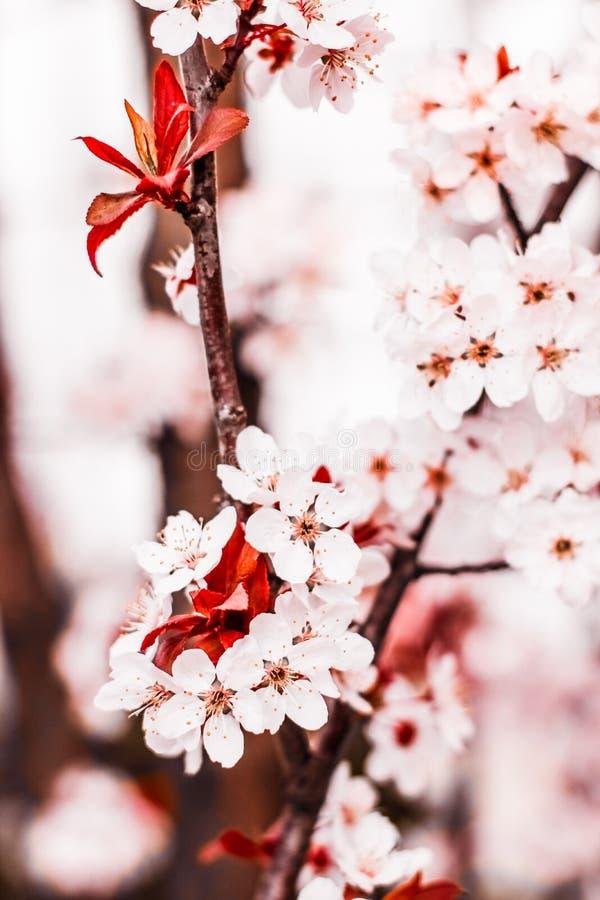 Blumenbl?te im Fr?hjahr, rosa Blumen als Naturhintergrund stockbild