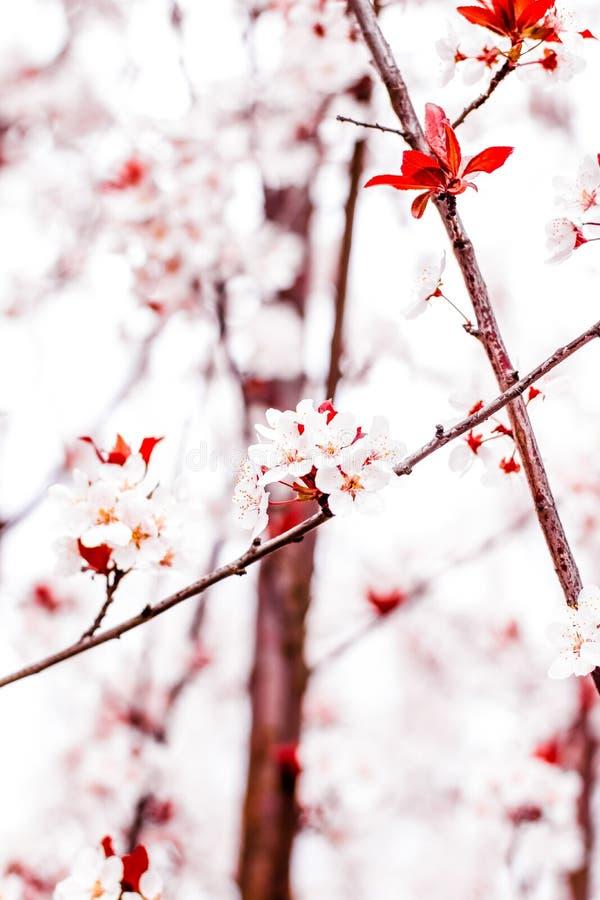 Blumenbl?te im Fr?hjahr, rosa Blumen als Naturhintergrund lizenzfreies stockfoto