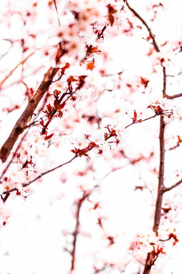 Blumenbl?te im Fr?hjahr, rosa Blumen als Naturhintergrund lizenzfreie stockfotos