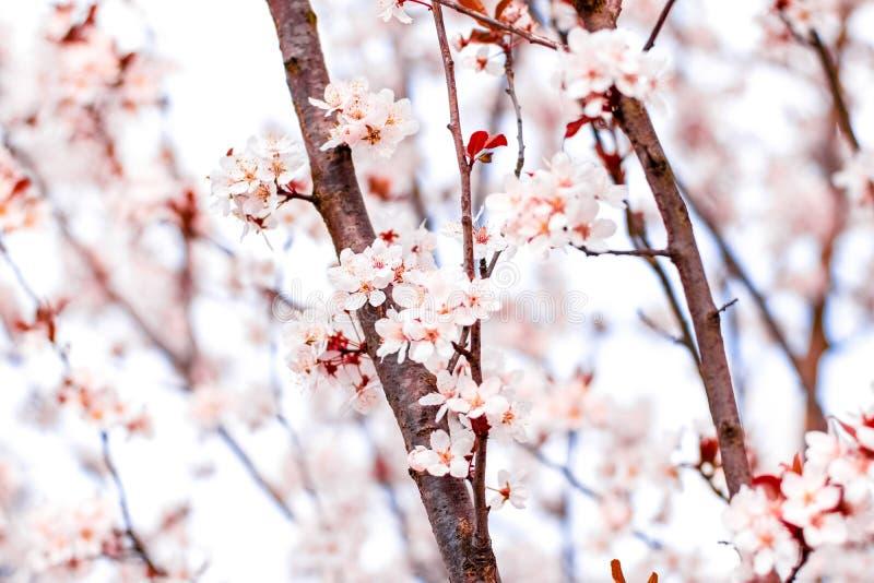Blumenbl?te im Fr?hjahr, rosa Blumen als Naturhintergrund stockfotografie
