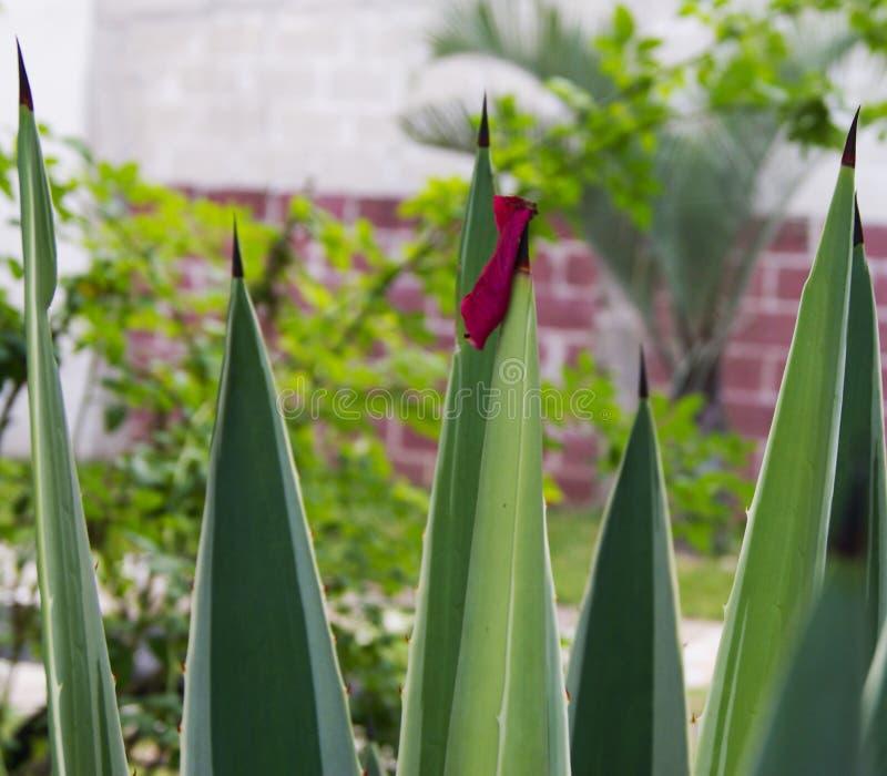 Blumenblatt fallen gelassen in Agave maguey Tipp lizenzfreie stockfotos