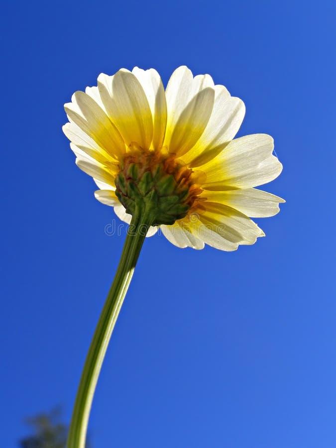 Blumenchrysantheme lizenzfreie stockfotografie