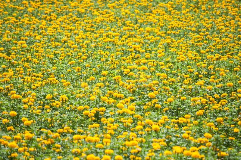 Blumenfeld der Ringelblume (Tagetes-erecta) lizenzfreie stockfotos