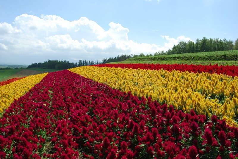 Blumenfeld in Hokkaido stockbilder