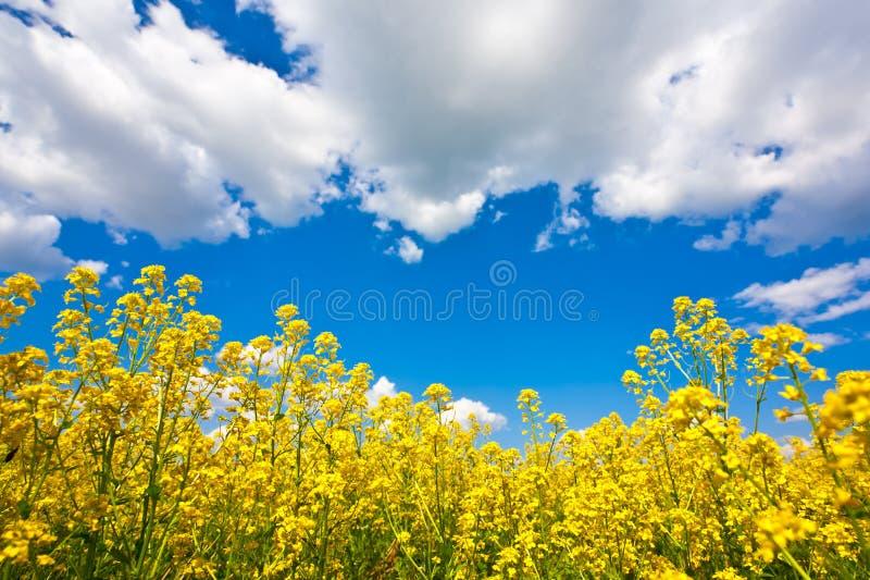 Blumenfeld und -himmel lizenzfreies stockbild