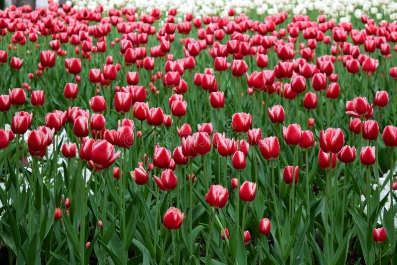 Blumenfeld von roten Tulpen lizenzfreie stockbilder