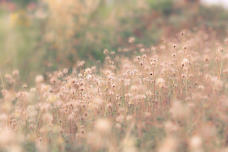 Blumenfeld, wilder Weinleselöwenzahn der Wiese im Sommernaturmorgengrasschönheits-Gartenlicht lizenzfreie stockfotos