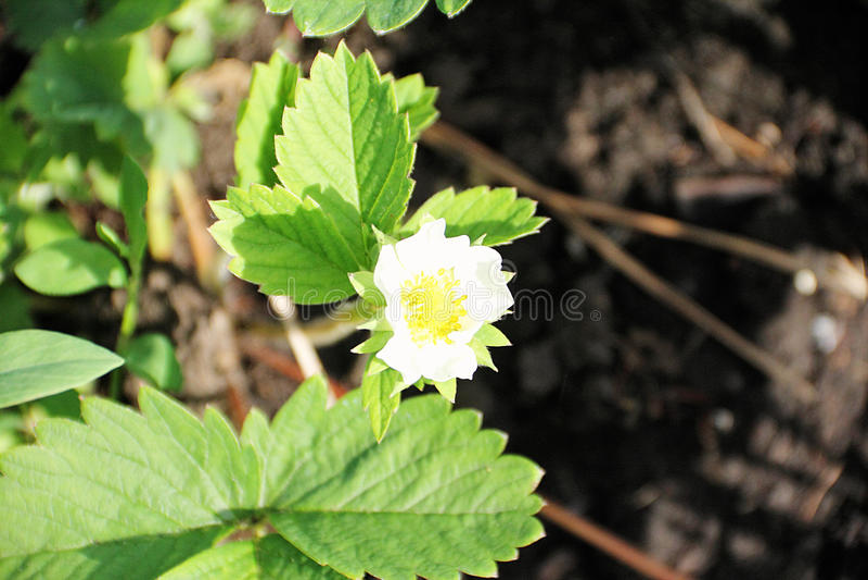 Blumengartenerdbeeren im Vorfrühling lizenzfreie stockbilder