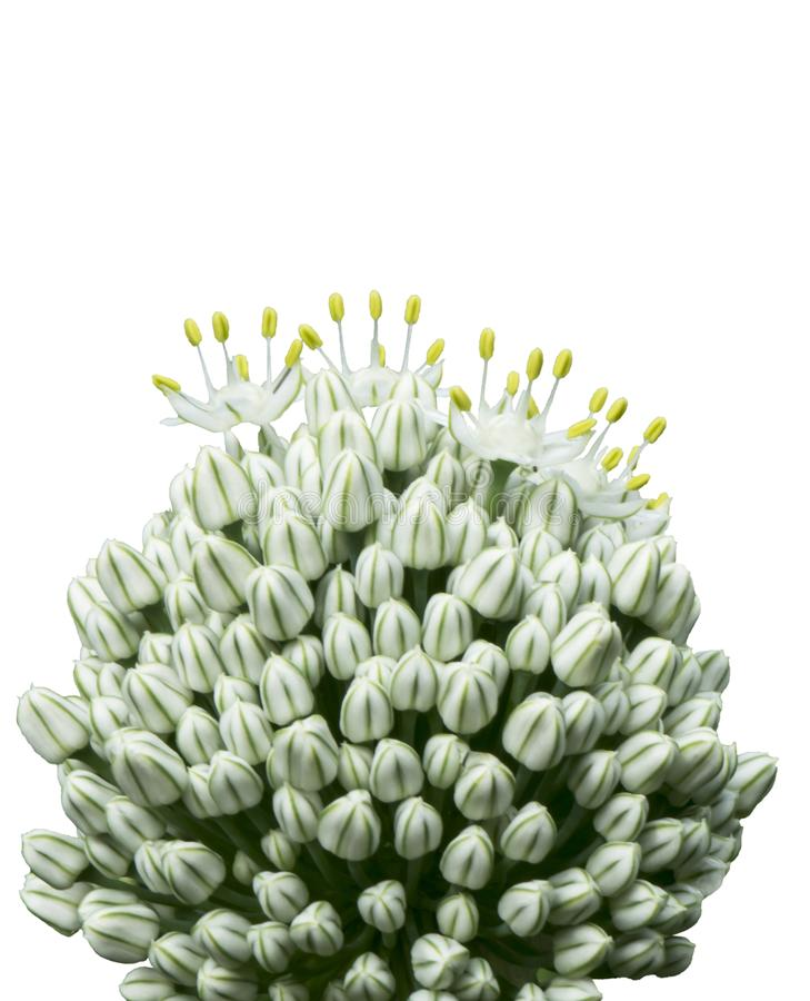 Blumengrünknauf im Garten lizenzfreies stockfoto