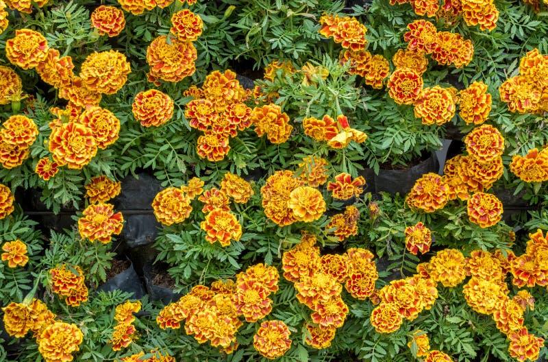 Blumenhintergrund der afrikanischen Ringelblume stockbilder