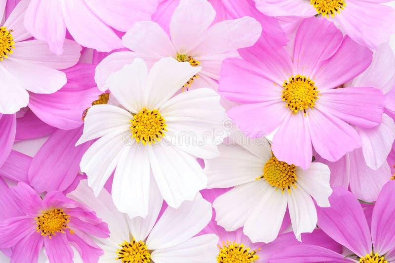 Blumenhintergrund des hellrosa und weißen Kosmos blüht Flache Lage stockbild