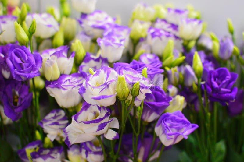 Blumenhintergrund des violetten Eustoma stockfotos