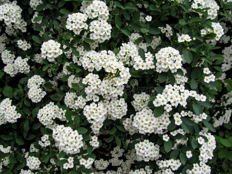 Blumenhintergrund eines weißen Spiraeablühens lizenzfreie stockbilder