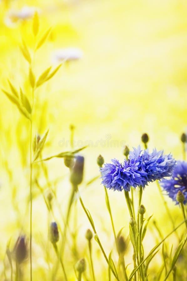Blumenhintergrund mit blauen Kornblumen auf synny gelbem Hintergrund stockfotos