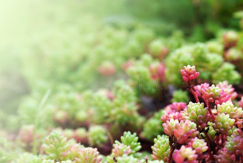 Blumenhintergrund mit Succulents stockbild