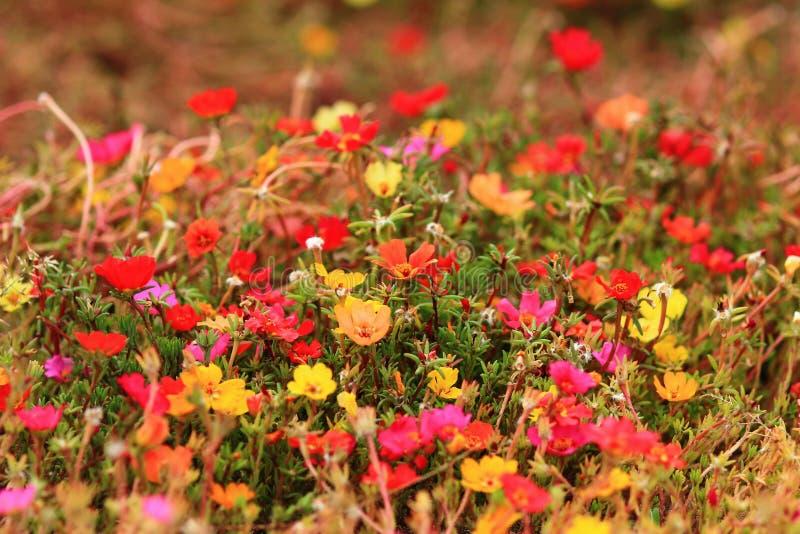 Blumenhintergrund. Rote, gelbe, pinkfarbene Blumen. stockfoto