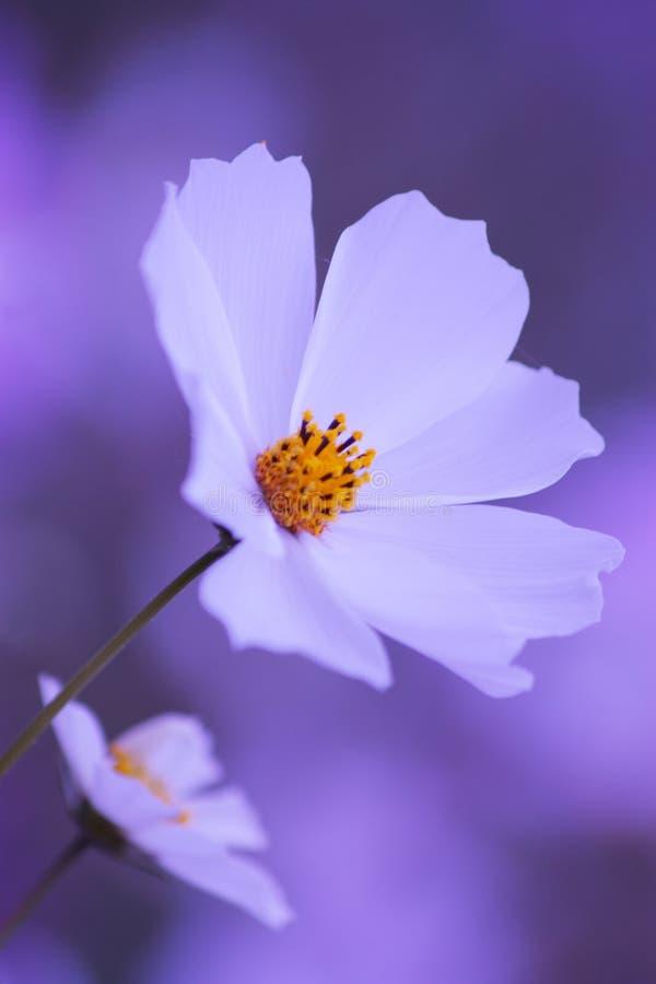 Blumenhintergrund - weiße Kosmosblume - Sommer Fotos auf Lager lizenzfreie stockfotos
