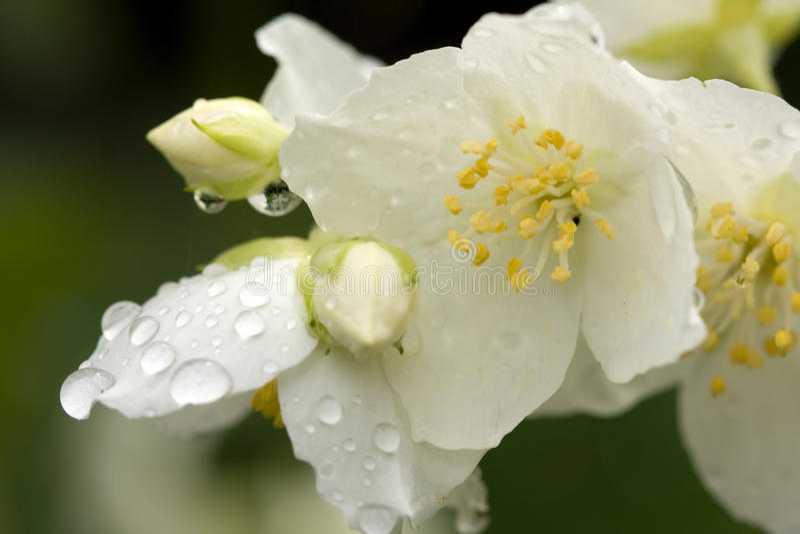 Blumenjasmin lizenzfreies stockfoto