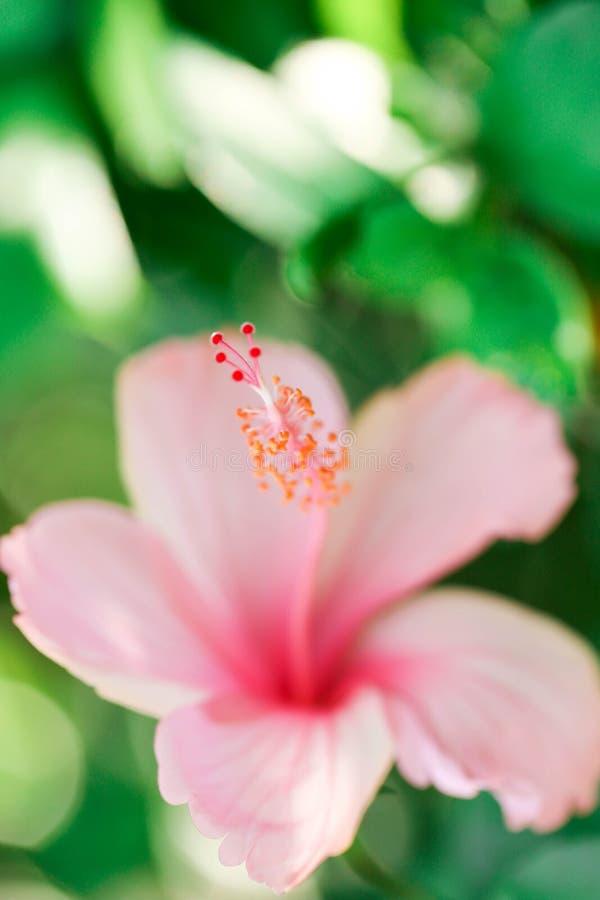 Blumenkarpellnaturweichzeichnungsnahaufnahmeunschärfe-Hintergrundblütenstaub, Hibiscusrosa- und weißeblume lizenzfreie stockbilder