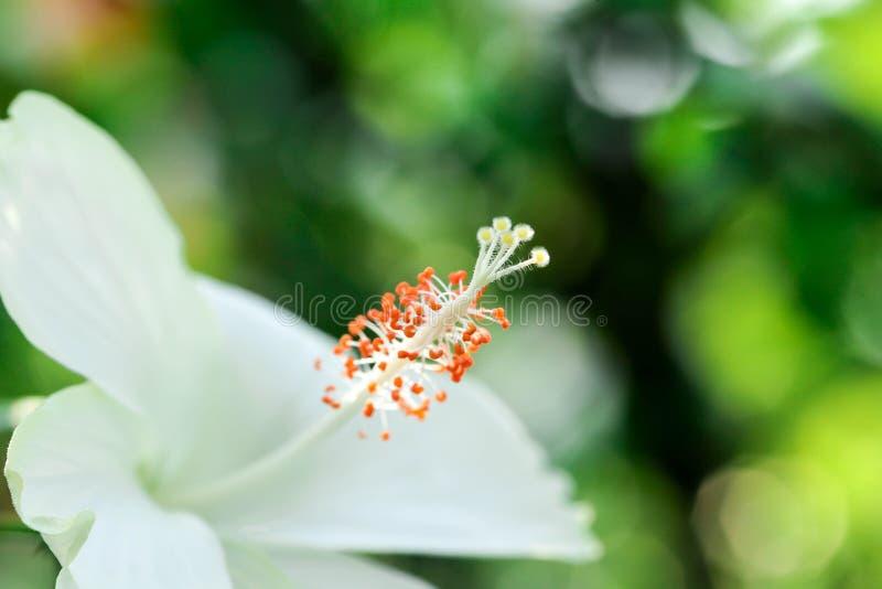 Blumenkarpellnaturweichzeichnungsnahaufnahmeunschärfe-Hintergrundblütenstaub, Hibiscusrosa- und weißeblume stockfoto