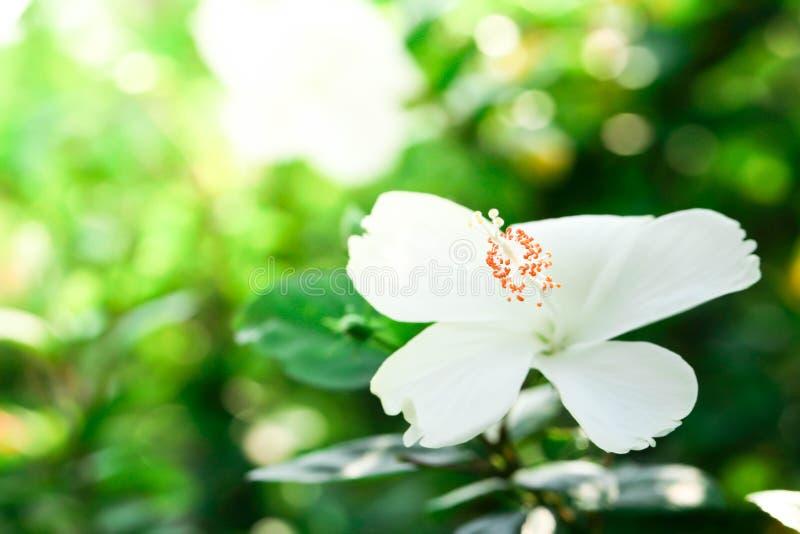 Blumenkarpellnaturweichzeichnungsnahaufnahmeunschärfe-Hintergrundblütenstaub, Hibiscusrosa- und weißeblume stockfotos