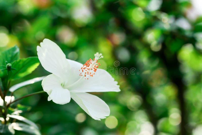 Blumenkarpellnaturweichzeichnungsnahaufnahmeunschärfe-Hintergrundblütenstaub, Hibiscusrosa- und weißeblume lizenzfreies stockfoto
