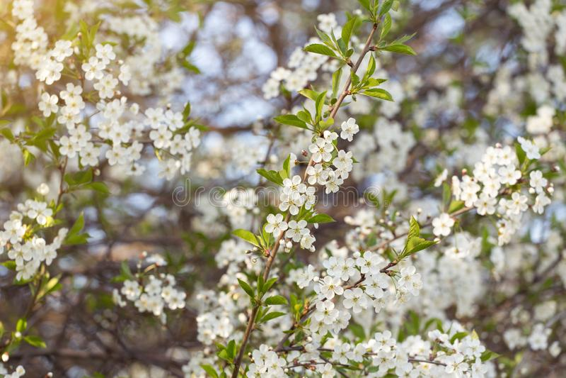 Blumenkirschbaumniederlassung im Garten, Frühlingsblüte, Blüte im Sonnenlicht stockfoto