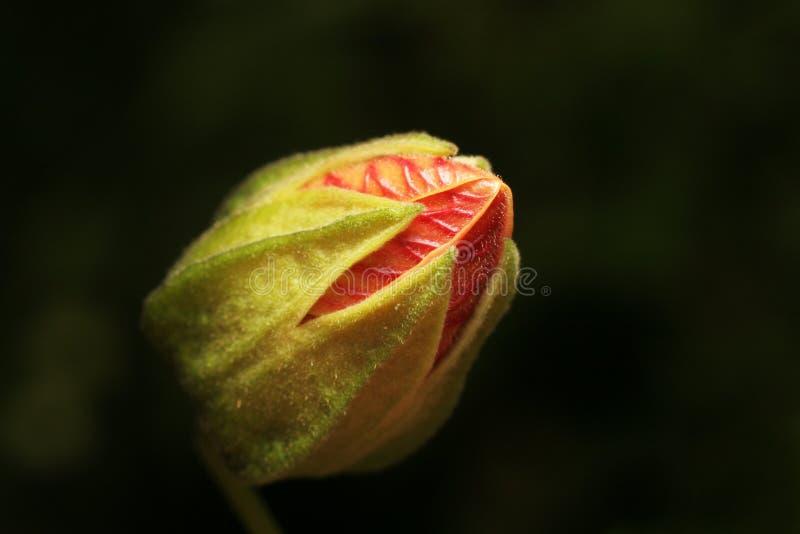 Blumenknospe stockfotos