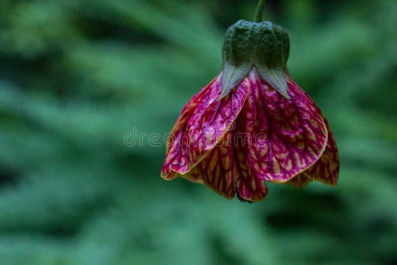Blumenknospe der japanischen Laterne lizenzfreies stockfoto