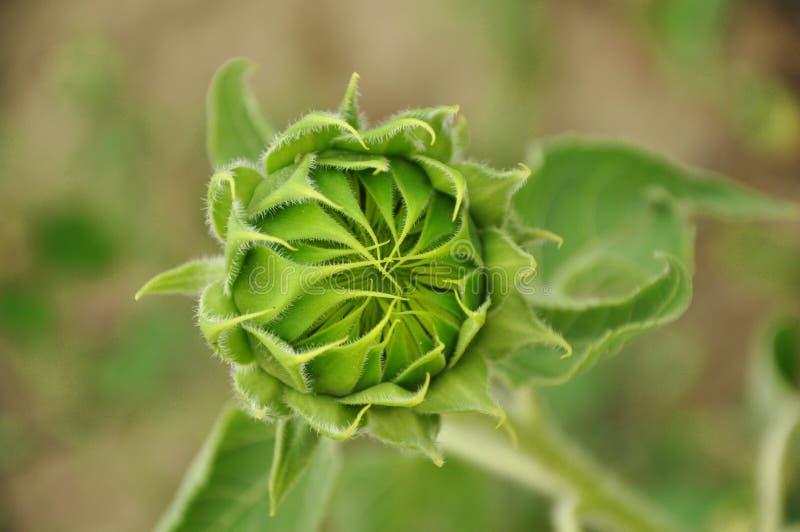 Blumenknospe der Sonnenblume lizenzfreies stockfoto