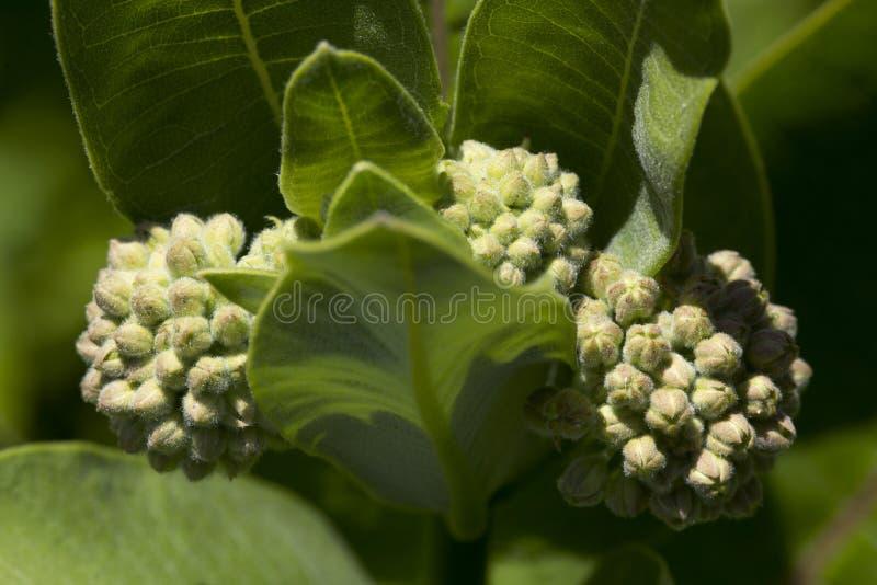 Blumenknospen des gemeinen Milkweed in Vernon, Connecticut lizenzfreie stockfotografie