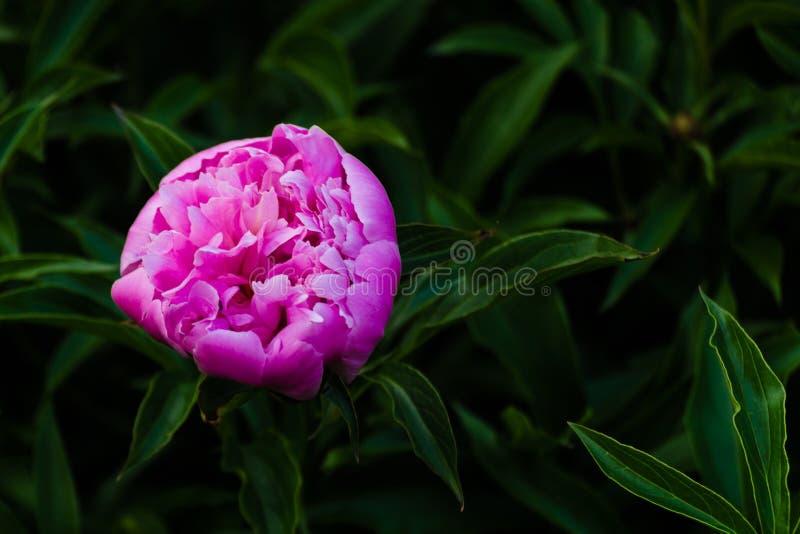 Blumenkonzept Nahaufnahme purpurroter Pfingstrose auf grüne Blätter im Garten Ansicht zu blühender Blume in der Sommerzeit mit Pl stockbild