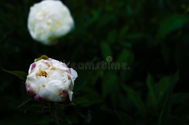 Blumenkonzept Nahaufnahme weißer Pfingstrose auf grüne Blätter im Garten Ansicht zu blühender Blume in der Sommerzeit mit Platz f lizenzfreie stockbilder