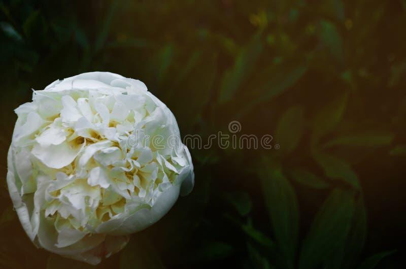 Blumenkonzept Nahaufnahme weißer Pfingstrose auf grüne Blätter im Garten Ansicht zu blühender Blume in der Sommerzeit mit Platz f lizenzfreies stockbild