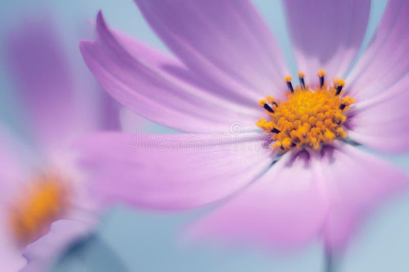Blumenkosmosnahaufnahme empfindliche Blumenblätter purpurrot Makrokosmos Kunstwerk lizenzfreie stockfotografie