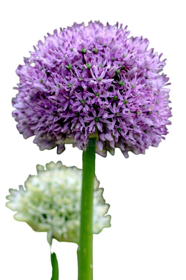 Blumenleiste des Knoblauchs lokalisiert auf einem weißen Hintergrund lizenzfreie stockfotografie