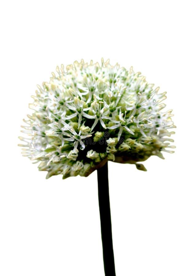 Blumenleiste des Knoblauchs lokalisiert auf einem weißen Hintergrund lizenzfreies stockfoto