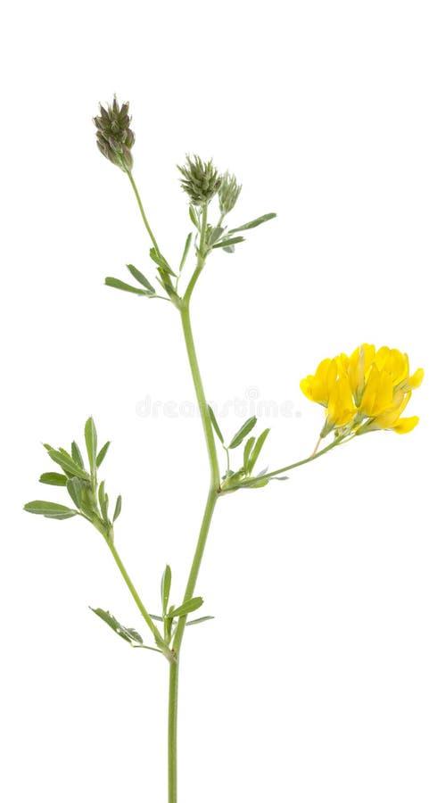 Blumenluzerne lizenzfreie stockbilder