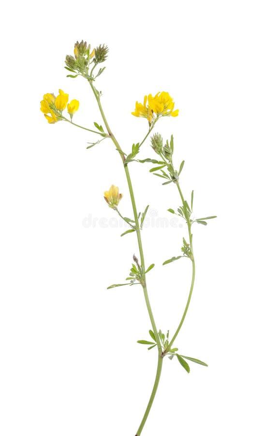 Blumenluzerne stockbilder