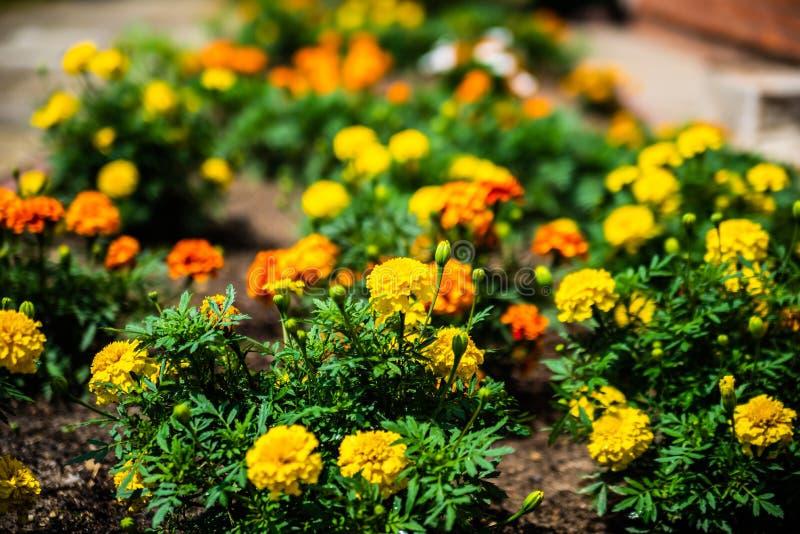 Blumenmehrfarbenhintergrund der gelb-orangeen und roten Ringelblumen Selektiver Fokus Bunte Blumen im Hausgarten lizenzfreies stockbild