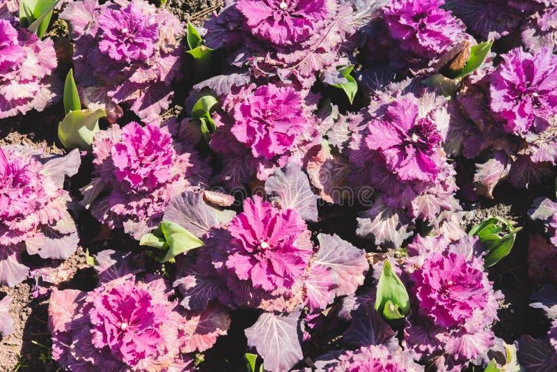 Blumenmuster von den Blumen des dekorativen Kohls der wei?en und rosa Farbe, die auf Braunerde w?chst Nat?rlicher Hintergrund stockbilder
