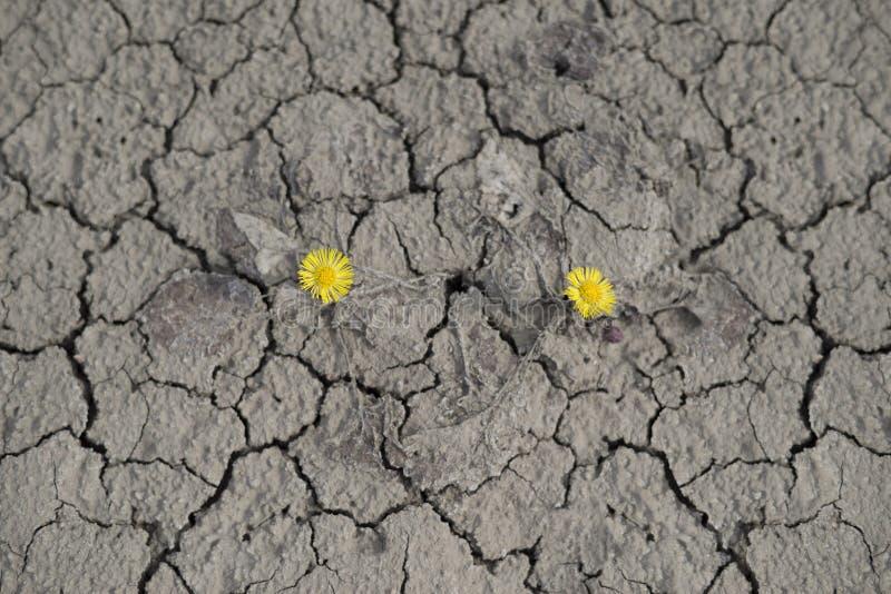 Blumenmutter und -stiefmutter wächst in der Wüste lizenzfreies stockbild