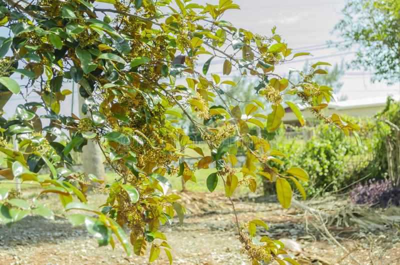 Blumenniederlassung des Chrysophyllum Cainito-Baums lizenzfreies stockbild