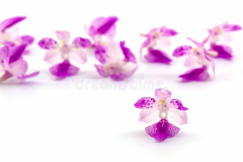 Blumenorchidee, Aerides auf weißem Hintergrund lizenzfreies stockfoto