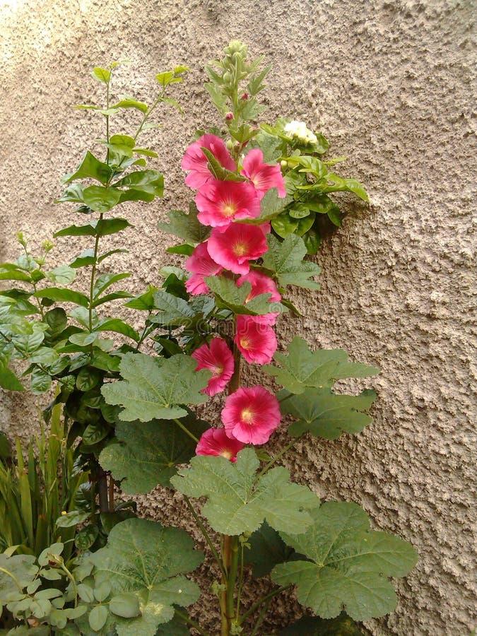 Blumenrosa lizenzfreie stockfotos
