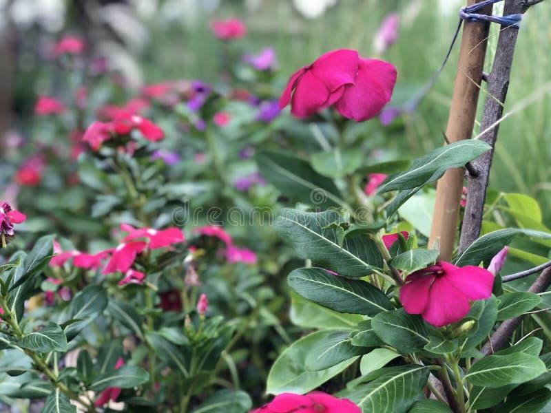 Blumenrosa lizenzfreies stockbild