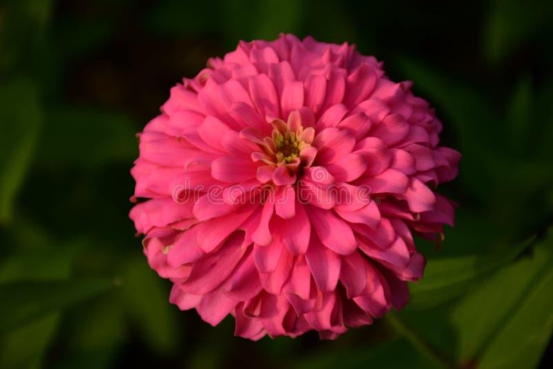 Blumenrosa stockbild